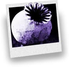 Heroin je (podobně jako opium a morfium) vyroben z pryskyřice rostlin máku.