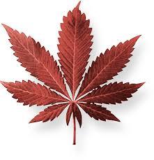 Marihuana je nejrozšířenější nelegální drogou na světě.